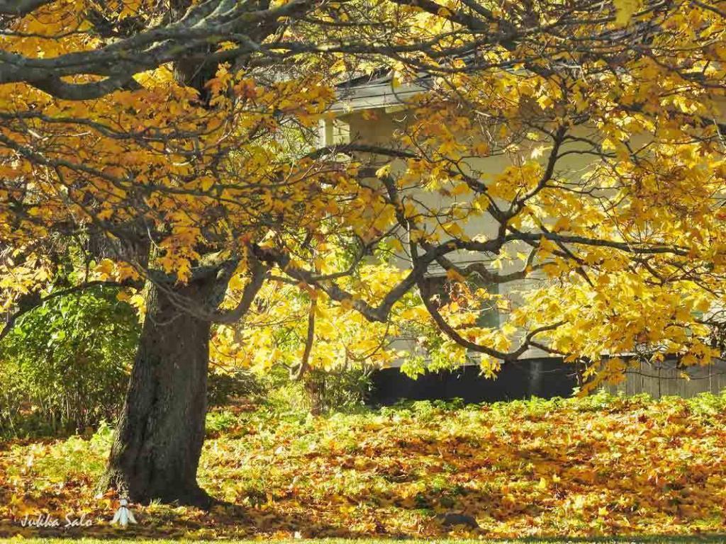 Syksyn keltaiset lehdet