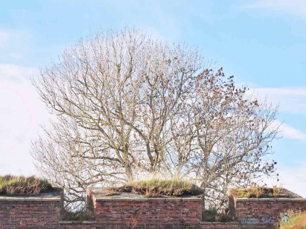 Lehdetön puu muurilla
